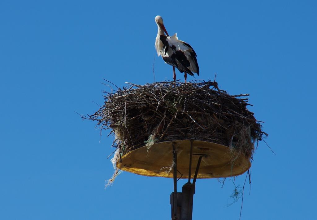The tallest stork nest